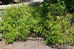 Prunus glandulosa 'Rosea Plena' - Rosea Plena Dwarf Flowering Almond Sinensis Dwarf Flowering Almond