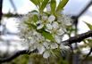 Prunus americana - American Red Plum Wild Plum August Plum Hog Plum