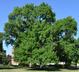 Fraxinus pennsylvanica - Green Ash