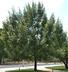 Quercus acutissima - Sawtooth Oak