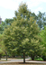 Tilia americana 'Redmond' - Redmond American Linden Redmond Basswood Redmond American Basswood