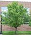 Ulmus parvifolia - Lacebark Elm Chinese Elm