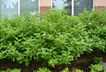 Cornus alba - Tatarian Dogwood