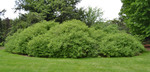 Cornus amomum - Silky Dogwood