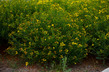 Hypericum kalmianum 'Gemo' - Gemo Kalm St. John's Wort