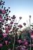Magnolia x soulangeana 'Purple Prince' - Purple Prince Saucer Magnolia