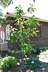 Magnolia tripetala - Umbrella Magnolia