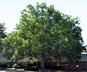 Quercus alba - White Oak